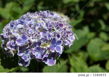 紫陽花 フラウノブコ 5380655