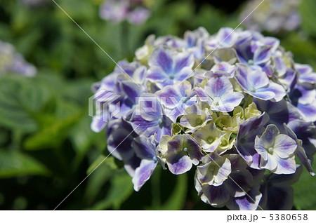 紫陽花 フラウノブコ 5380658