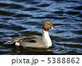 尾長鴨 雄 冬に渡来する大型の鴨 5388862