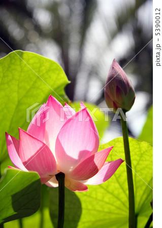 桃色蓮花 5390012