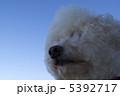 ビションフリーゼ ビション・フリーゼ 犬の写真 5392717