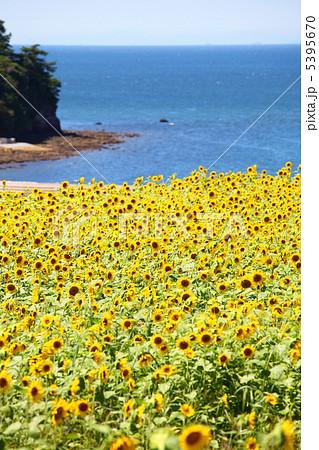 海とひまわり畑 5395670