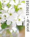 利休梅 リキュウバイ 花の写真 5398168