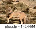 タイリクオオカミ オオカミ ヨーロッパオオカミの写真 5414466