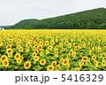 ヒマワリ ひまわり ひまわり畑の写真 5416329
