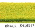 ヒマワリ ひまわり ひまわり畑の写真 5416347