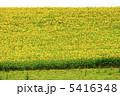 ヒマワリ ひまわり ひまわり畑の写真 5416348