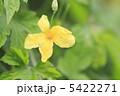 ゴーヤ ニガウリ ツルレイシの写真 5422271