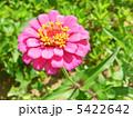 ヒャクニチソウ(百日草) 5422642