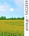 ヒマワリ ひまわり ひまわり畑の写真 5422839