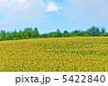 ヒマワリ ひまわり ひまわり畑の写真 5422840