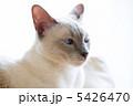 白いシャム猫 5426470