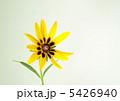 荒毛反魂草 キヌガサギク 絹笠菊の写真 5426940