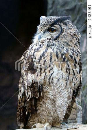 鷲木菟ワシミミズク 最も強い夜の猛禽 なんだけど・・・ 5428461