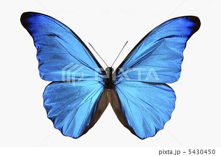 青い蝶の写真素材 [5430450] - P...