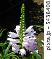 角虎の尾 フィソステギア 花虎の尾の写真 5438408