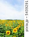 夏の花 ヒマワリ ひまわりの写真 5439291