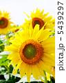 ヒマワリ ひまわり 夏の花の写真 5439297
