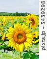 ヒマワリ ひまわり 夏の花の写真 5439298