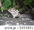 摩周湖のリス 5453801