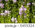 草花 ハナトラノオ カクトラノオの写真 5455324