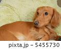 ペット ミニチュアダックス 動物の写真 5455730