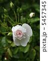 薔薇の花 ドミニク・ロワゾー 5457345
