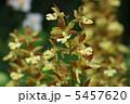 きえびね 黄海老根 キエビネの写真 5457620