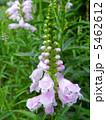 角虎の尾 フィソステギア 花虎の尾の写真 5462612