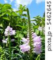 ハナトラノオ(花虎の尾) 5462645