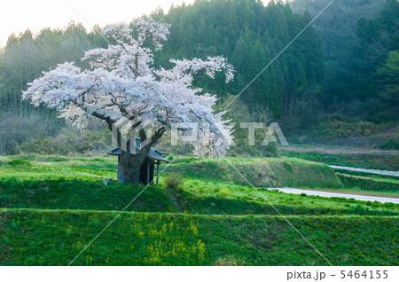早朝の原風景(小沢の桜) 5464155