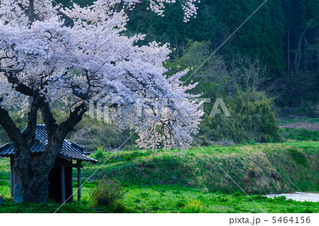 早朝の原風景(小沢の桜) 5464156
