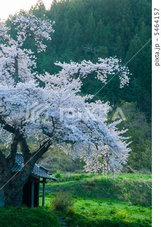 早朝の原風景(小沢の桜) 5464157