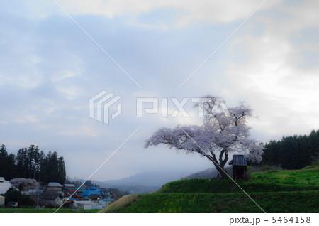 早朝の原風景(小沢の桜) 5464158