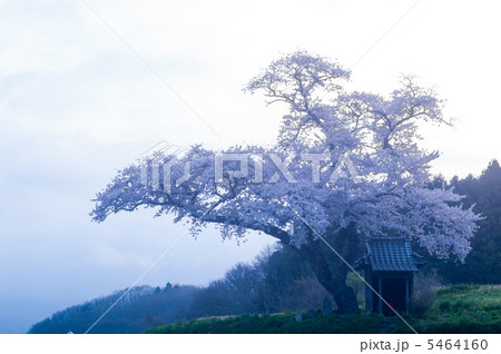 早朝の原風景(小沢の桜) 5464160