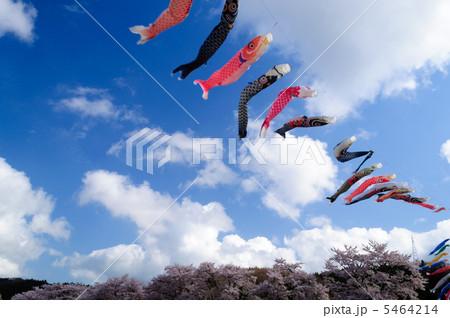 鯉のぼりと桜並木 5464214
