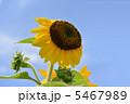 ひまわり サンリッチオレンジ 花の写真 5467989