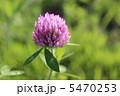 アカツメクサ 赤詰草 ムラサキツメクサの写真 5470253