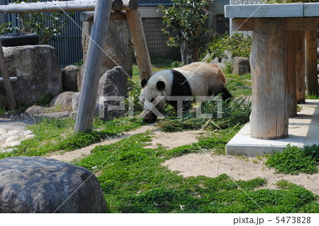 パンダの旦旦(タンタン)神戸市立王子動物園にて撮影 5473828