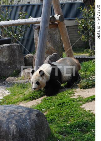 パンダの旦旦(タンタン)神戸市立王子動物園にて撮影 5473830
