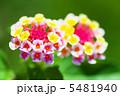 ランタナ 七変化 シチヘンゲの写真 5481940