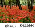 相思華 彼岸花 群生の写真 5488660