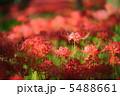 相思華 彼岸花 曼珠沙華の写真 5488661