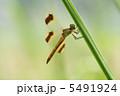 トンボ とんぼ ミヤマアカネの写真 5491924