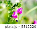 ヤハズエンドウの花 5512220
