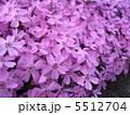 シバザクラ シバサクラ 芝桜の写真 5512704