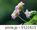 ランタナ 七変化 シチヘンゲの写真 5522615