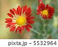 菊 きく キクの写真 5532964