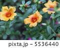 ポーチュラカ 5536440