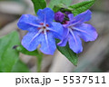 山野草 ホタルカズラ 蛍葛の写真 5537511